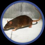 Rat-egout-deratisation-bordeaux