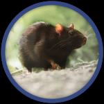 Rat-noir-deratisation-bordeaux